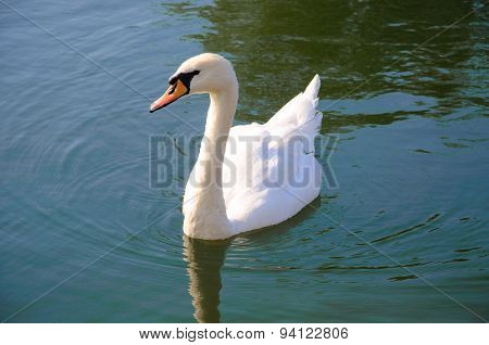 Lonely Graceful Swan On Lake Water , Sergiev Posad, Moscow Region, Russia