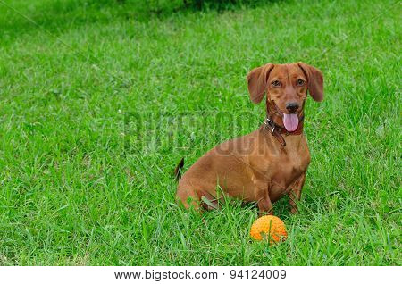 Smooth-haired dachshund standard, color red, female. Dog.