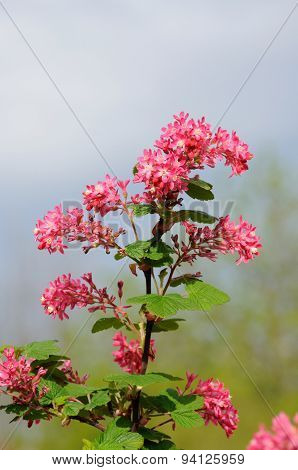 Tree Branch With Small Pink Flowers In Fulda, Hessen, Germany