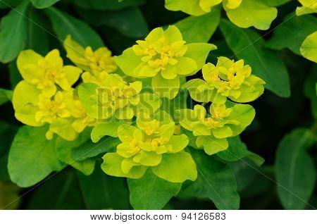 Yellow-green Flowers In Fulda, Hessen, Germany