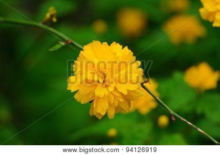 Beautiful Orange Spring Flower On The Tree Branch In Fulda, Hessen, Germany