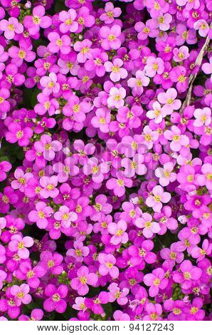 Spring Violete Flowers In Fulda, Hessen, Germany