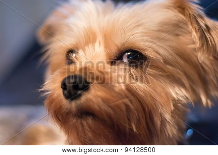 The face of a Yorkshire terrier