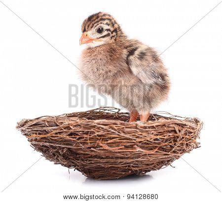 Small bird nestling waiting in nest