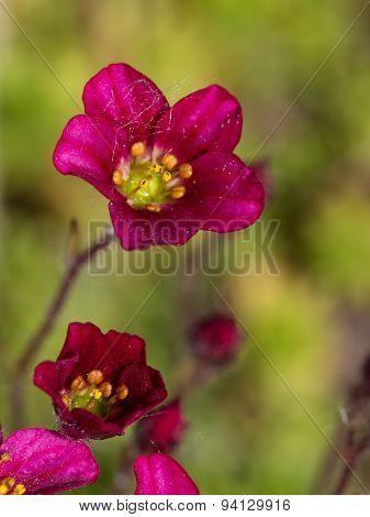 Bright Flower Mossy Saxifrage