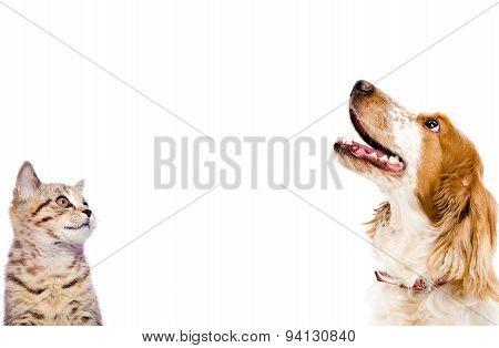 Portrait of a kitten Scottish Straight and dog Russian Spaniel