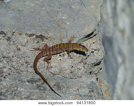A Croatian lizard on a stone