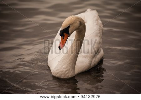 Mute Swan Cygnus Olor Swimming In Water
