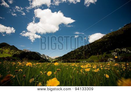 Alpine Meadow With Yellow Flowers And Green Grass Alp Mountains On The Background