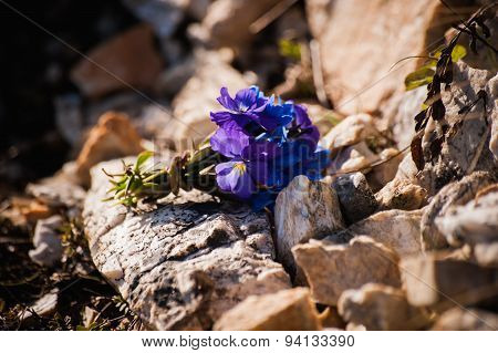 Bouquet Of Violet Flowers Viola Odorata On Stone