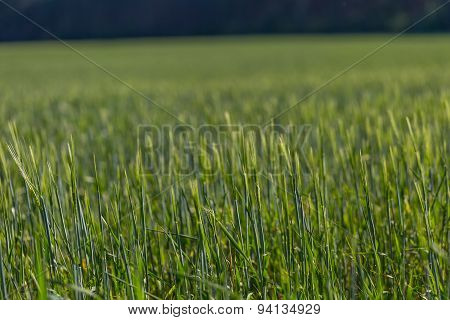 Beautiful Young Cereal Field