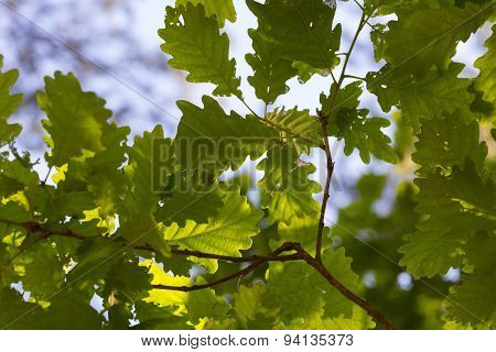 Background Of Young Oak Leaves On Branches