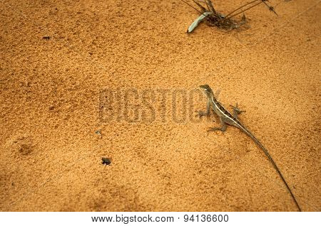 Lizard On  Sand