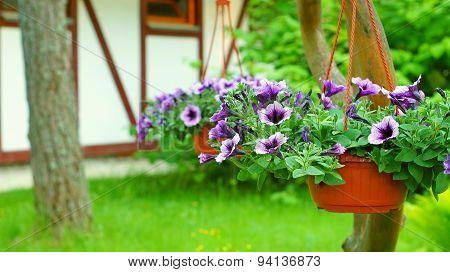 NIce petunia flowers