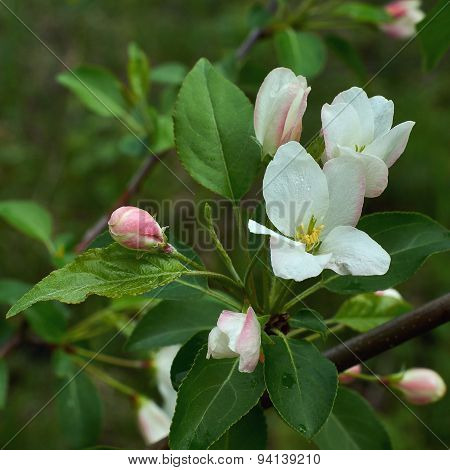 Blossoming Branch Of An Apple-tree.