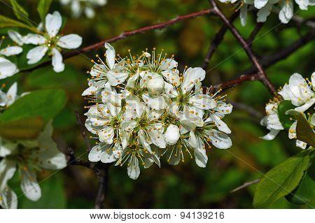 Blossoming Branch Wild Plum .