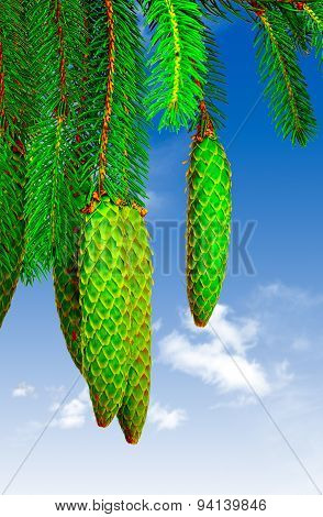 fir cones against the sky