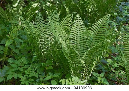 Sprouts Of Fern Blossom In A Forest Glade.