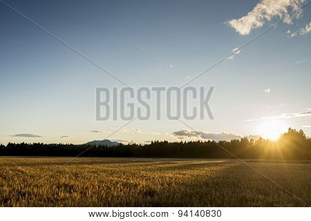 Sunrise Over A Field Of Ripening Wheat