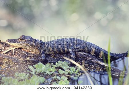 Young Alligator Resting On A Log