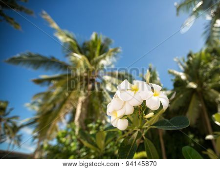 White tropical frangipani  flower surrounded palm trees