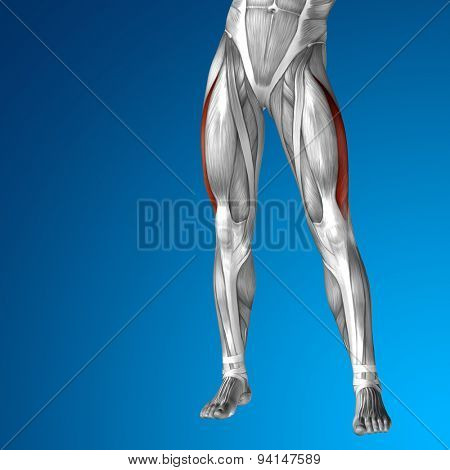 Concept or conceptual 3D adductor longus human upper leg anatomy or anatomical and muscle on blue gradient background