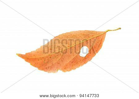 Leaf With Holes, Eaten By Pests Isolated On White Background.