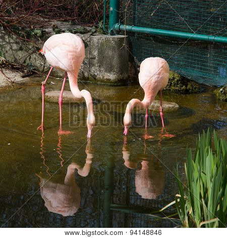 two Pink flamingo and reflection in the water