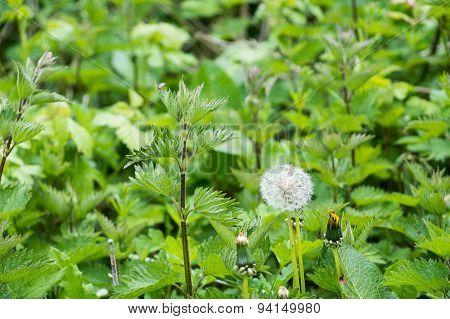 dandelion clock seed head growing wild
