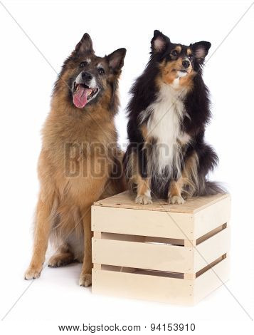 Belgian Shepherd Tervuren And Shetland Sheepdog, White Studio Background