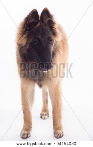 Belgian Shepherd Tervuren Dog Puppy, Six Months Old, White Studio Background