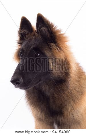 Belgian Shepherd Tervuren Dog Puppy, Six Months Old, Headshot, White Studio Background