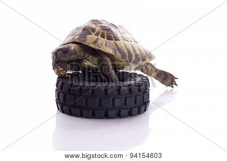 Greek Land Tortoise, Testudo Hermanni Isolated On White Studio Background