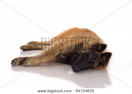 Belgian Shepherd Tervuren Dog Puppy, Six Months Old, Laying Down, White Studio Background