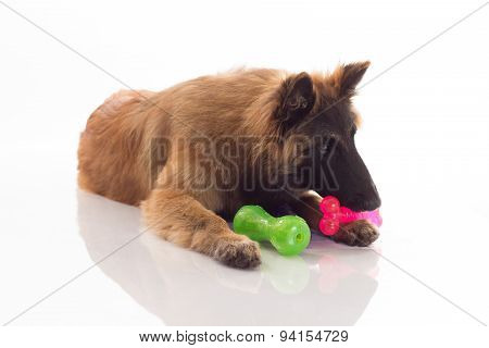 Belgian Shepherd Tervuren Puppy, Six Months Old, Shiny White Floor And White Studio Background