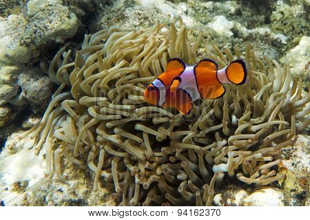 Nemo (clownfish, anemonefish, Amphiprioninae)in the background with anemone