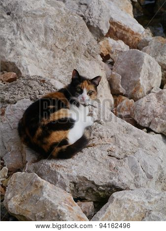 A caliaco cat on the coast of Croatia