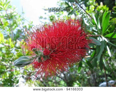 The flower of a bottle brush tree