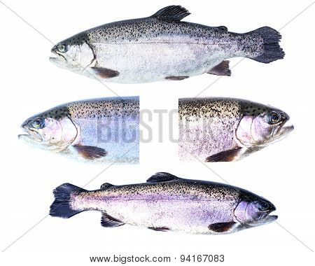 Collection Of Rainbow Trout (oncorhynchus Mykiss) Females Isolated On White Background.