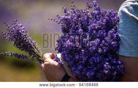 Man holding a bouquet of lavender immediately after harvest