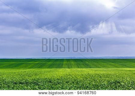 Field With Shoots Of Spring Wheat