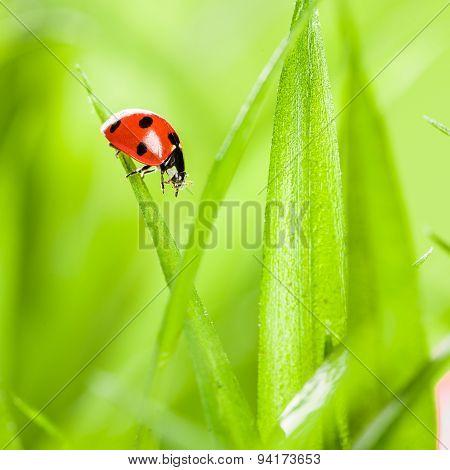 Ladybug running along on blade of  green grass