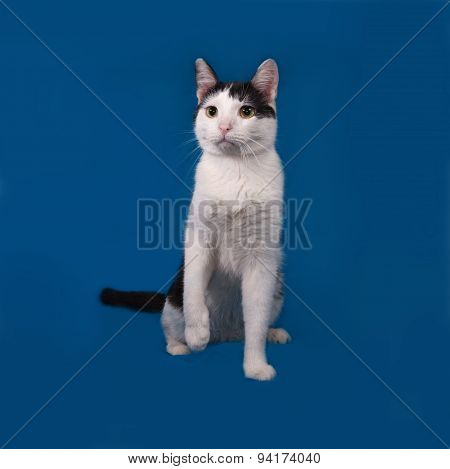 White And Black Cat Sitting On Blue