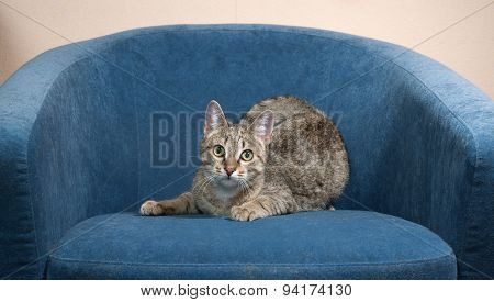 Striped Cat Lies On Blue Chair