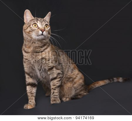 Tricolor Striped Cat Sitting On Dark Gray