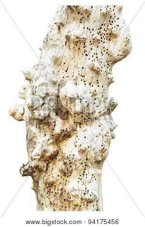 Trunk With Beetle Holes Isolate On White Background.