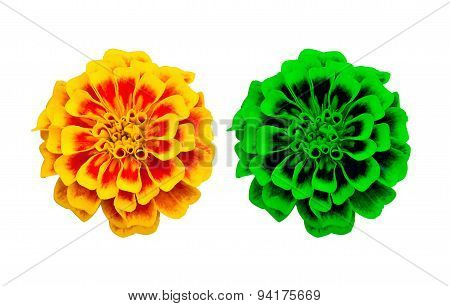 Isolated French Marigold Flower