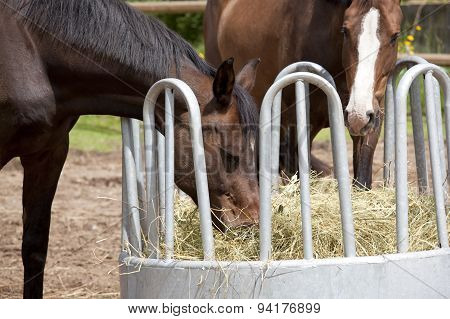Horses Eating From Hay Rack