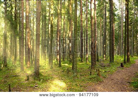 The trail in a pine forest, the Sun's rays make their way through Crones of trees, morning