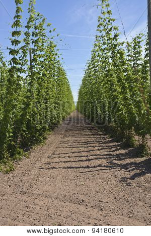 Agriculture And Farming Of Hops In Oregon.